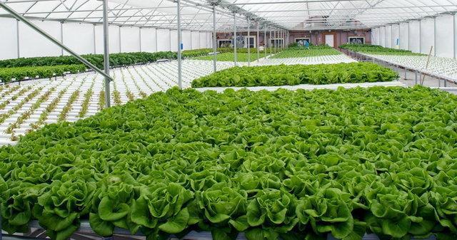 کشت GAP را به گلخانه ها توسعه می دهیم